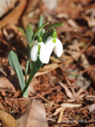 snowdrop come into bloom !